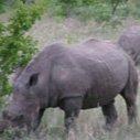Krugerparken Noshörning