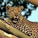 Krugerparken Leopard