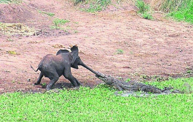 elefantunge, krokodil, Krugerparken