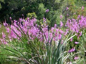 Kirstenbosch Botaniska Trädgård Gladiolus