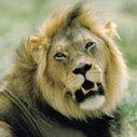 Krugerparken Lejon