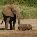 Krugerparken Elefanter