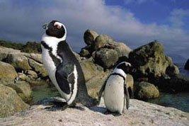 Boulders Beach Pingviner