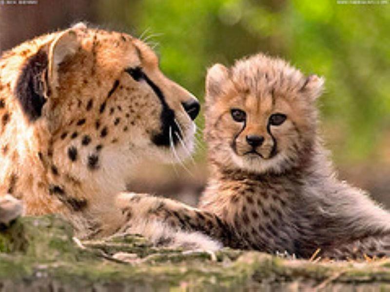 Krugerparken Gepard