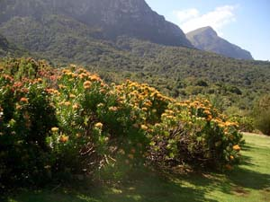 Kirstenbosch Botaniska Trädgård Protea