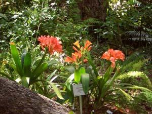 Kirstenbosch Botaniska Trädgård Clivia