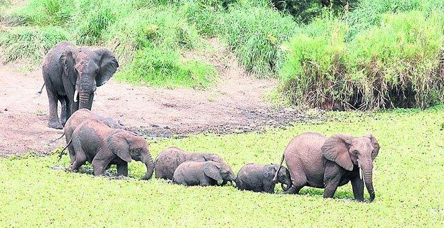 elefanter, Krugerparken