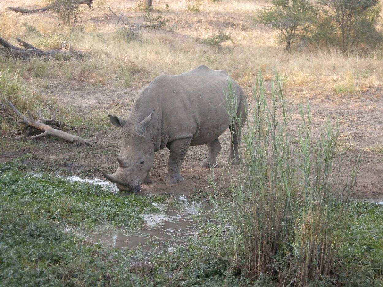 noshörning vid Mohlabetsi Safari Lodge