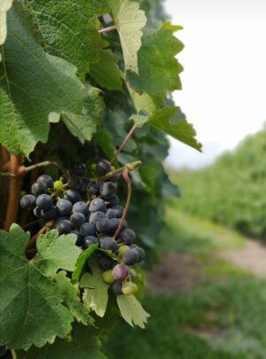 vindruvor på vinranka