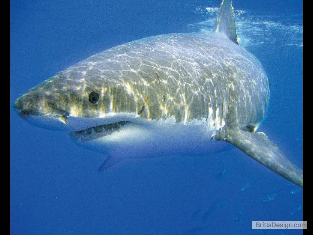 great-white-shark-picture-01