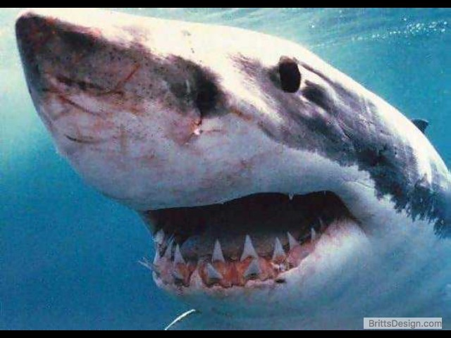 great-white-shark-picture-018